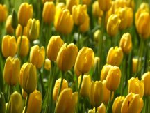 tulips-yellow
