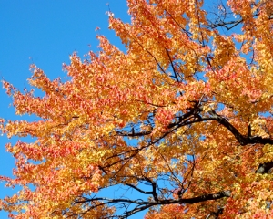 red_maple_yellow